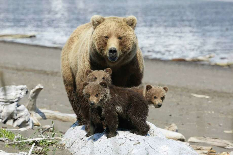 Brown bear mother and three cubs tread cautiously at Hallo Bay. Photo: Nicholas Mallos/Ocean Conservancy