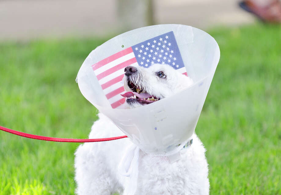 Luke the Havanese, 7, looks up from his flag decorated Elizabethan recovery collar during the Town of Trumbull's second annual Declaration of Independence reading at Trumbull Town Hall on Thursday, July 4, 2013. Photo: Amy Mortensen / Connecticut Post Freelance