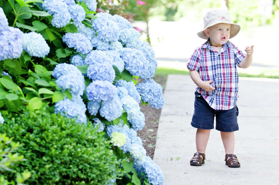Joshua Bradley Stone, 2, of New York, visiting with relatives from Stratford, walks past a hydrangea bush during the Town of Trumbull's second annual Declaration of Independence reading at Trumbull Town Hall on Thursday, July 4, 2013. Photo: Amy Mortensen / Connecticut Post Freelance