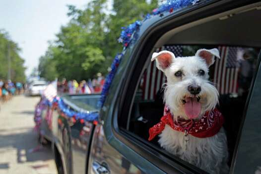 A Miniature Schnauzer named Gretchen rides in the truck pulling the Lone Star Collage float during the Kingwood Civic Club 4th of July Parade Thursday, July 4, 2013, in Kingwood. Photo: Melissa Phillip, Houston Chronicle / © 2013  Houston Chronicle
