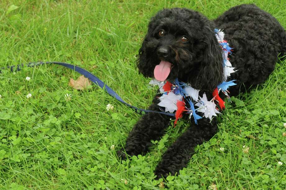 Kiwi a Cockapoo owned by Nora Stevens of Watervliet rests after walking in the Saratoga Springs 4th of July Parade on Thursday July 4, 2013 in Saratoga Springs, N.Y. (Michael P. Farrell/Times Union) Photo: Michael P. Farrell / 00023042A