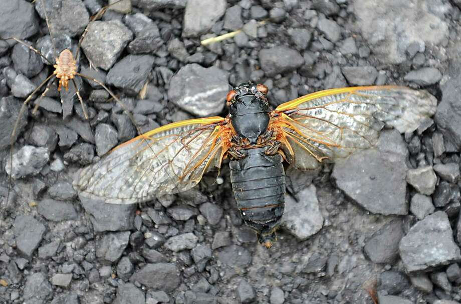 A spider crawls over a dead cicada on Rock City Rd. on Tuesday, July 2, 2013 in Feura Bush, N.Y. (Lori Van Buren / Times Union) Photo: Lori Van Buren / 00023021A