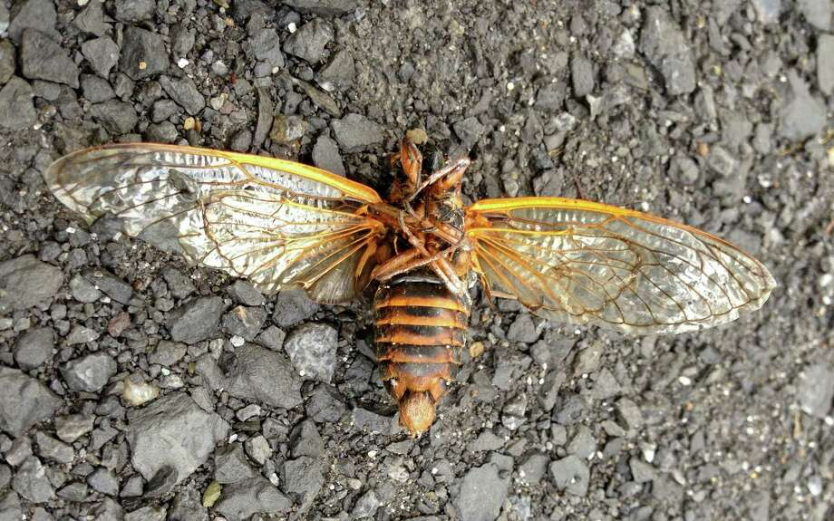 A dead cicada is face up on Rock City Road in Feura Bush. (Lori Van Buren / Times Union) Photo: Lori Van Buren / 00023021A