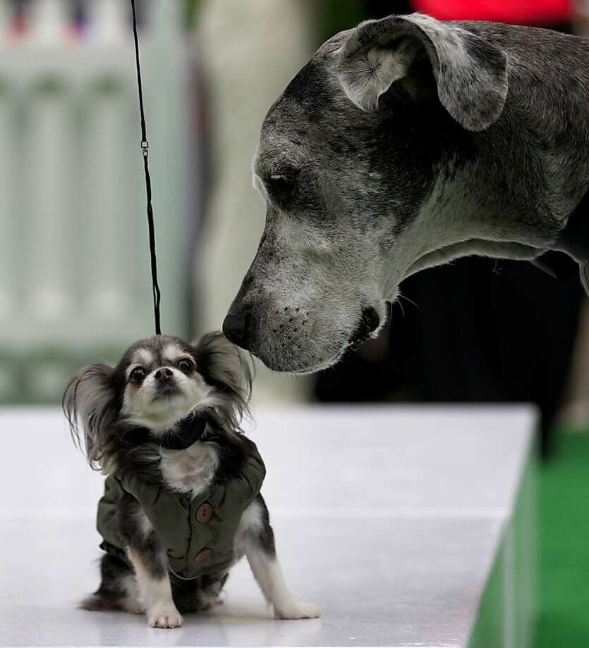 I can't believe we're the same species either:Two participants in the Dog Day in Chelsea Harbor Design Centre event in London get acquainted. Photo: Andrew Cowie, AFP/Getty Images