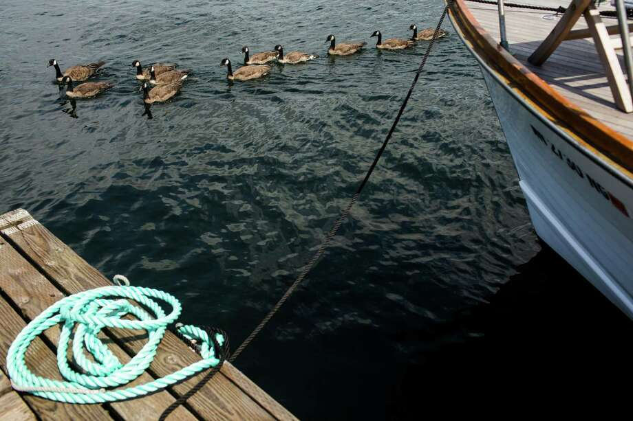 A flock of Canadian geese float by the 37th annual Wooden Boat Festival Friday, July 5, 2013, at The Center for Wooden Boats in South Lake Union in Seattle. The free waterfront event - which goes through Sunday - features live music, boat rides and the opportunity to build your own miniature craft. Photo: JORDAN STEAD, SEATTLEPI.COM / SEATTLEPI.COM