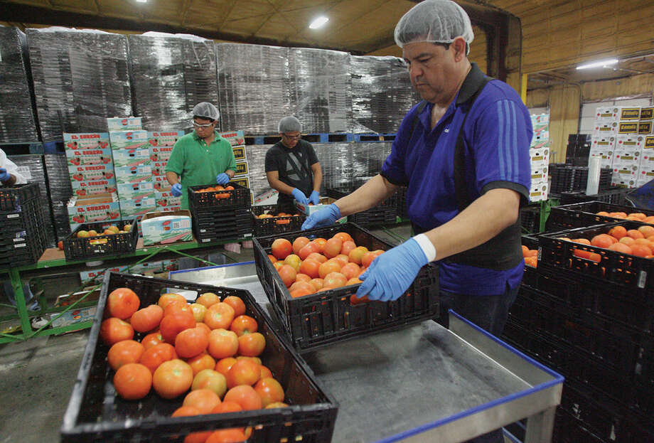 Employees sort and package tomatoes at the BEBO distribution center in Pharr. Photo: Photos By Delcia Lopez / For The Express-News