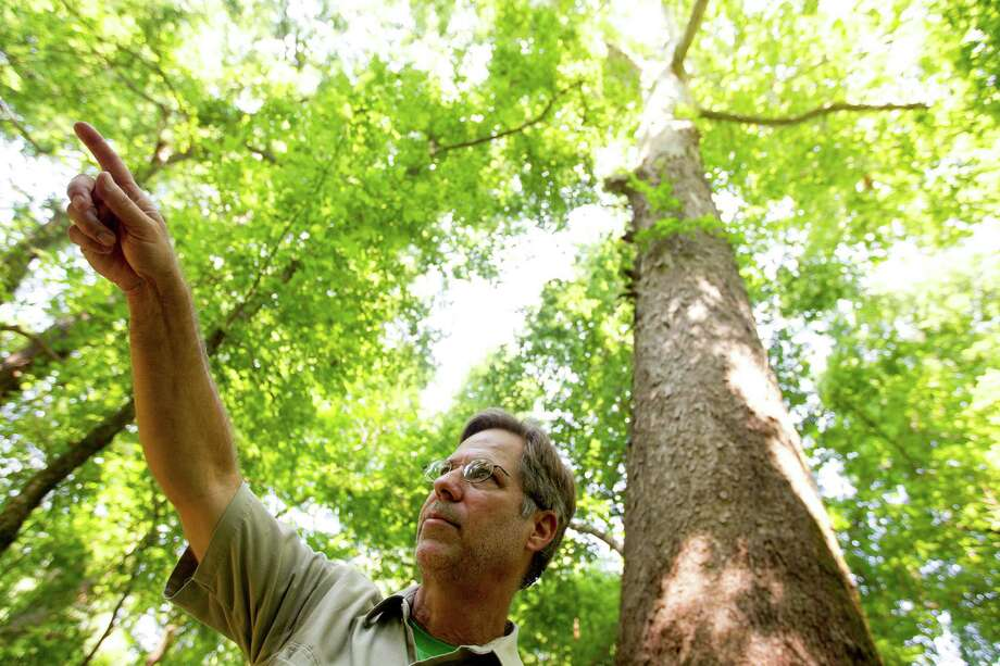 "Michael ""Mickey"" Merritt a regional urban forester with the Texas A&M Forest Service stands next to the new largest American sycamore tree in Harris County, which is found in east Houston on the Harris County Flood Control District's Greens Bayou Water Shed Wednesday, July 3, 2013. The current size of the sycamore is 105-feet high, with a circumference of 134-inches and a spread of 74-feet. The former largest American sycamore was located in the Heights neighborhood and cut down by a developer due to the health of the tree. The new second largest American sycamore tree is located at the Bayou Bend Collection & Garden. Photo: Johnny Hanson, Houston Chronicle / © 2013  Houston Chronicle"