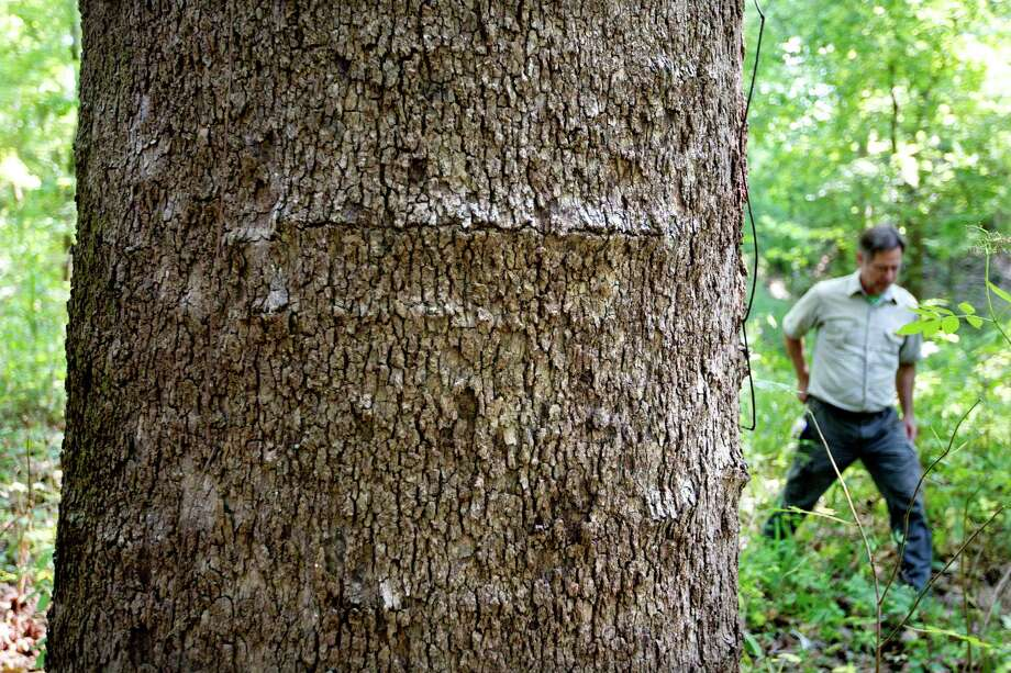 "Michael ""Mickey"" Merritt a regional urban forester with the Texas A&M Forest Service walks toward the new largest American sycamore tree in Harris County, which is found in east Houston on the Harris County Flood Control District's Greens Bayou Water Shed Wednesday, July 3, 2013. The current size of the sycamore is 105-feet high, with a circumference of 134-inches and a spread of 74-feet. Photo: Johnny Hanson, Houston Chronicle / © 2013  Houston Chronicle"