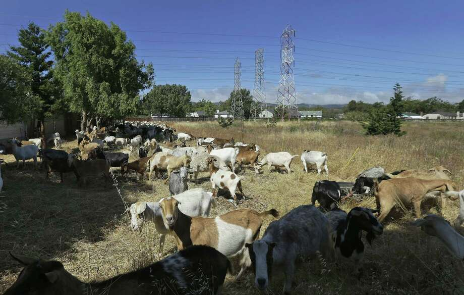 Goats graze on a patch of San Francisco International Airport land to eradicate weeds, which can be a fire hazard. The airport is using 400 goats to clear a fire-prone area of the airport where manpower and machines weren't suitable. Photo: Associated Press