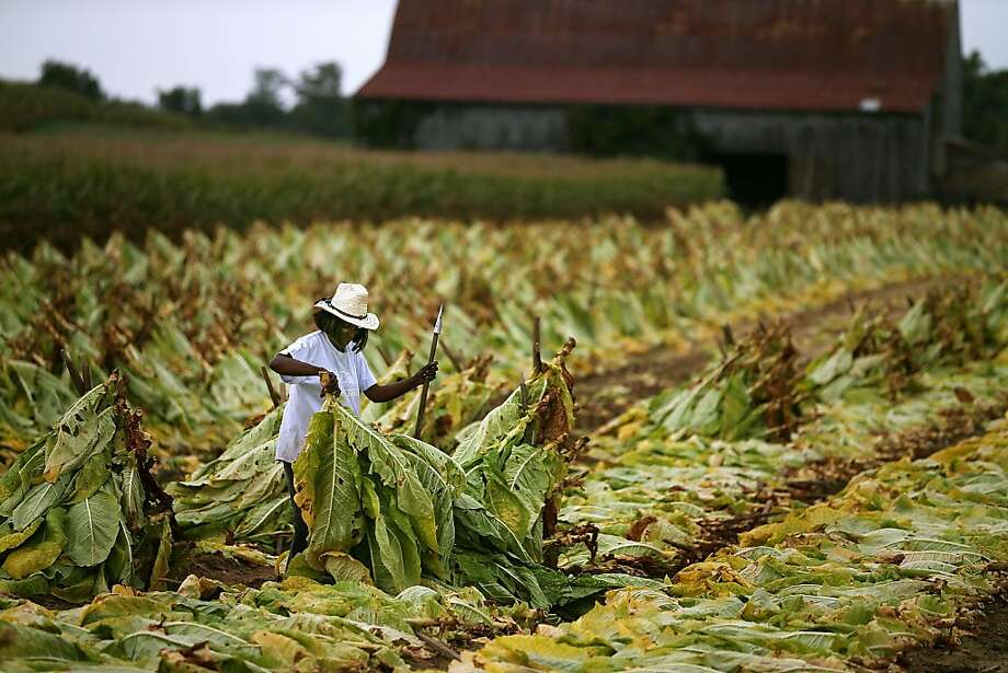 A woman harvests tobacco leaves on a farm in Owings, Md. Tobacco companies want to make sure they don't face tighter regulations. Photo: Mark Wilson, Getty Images