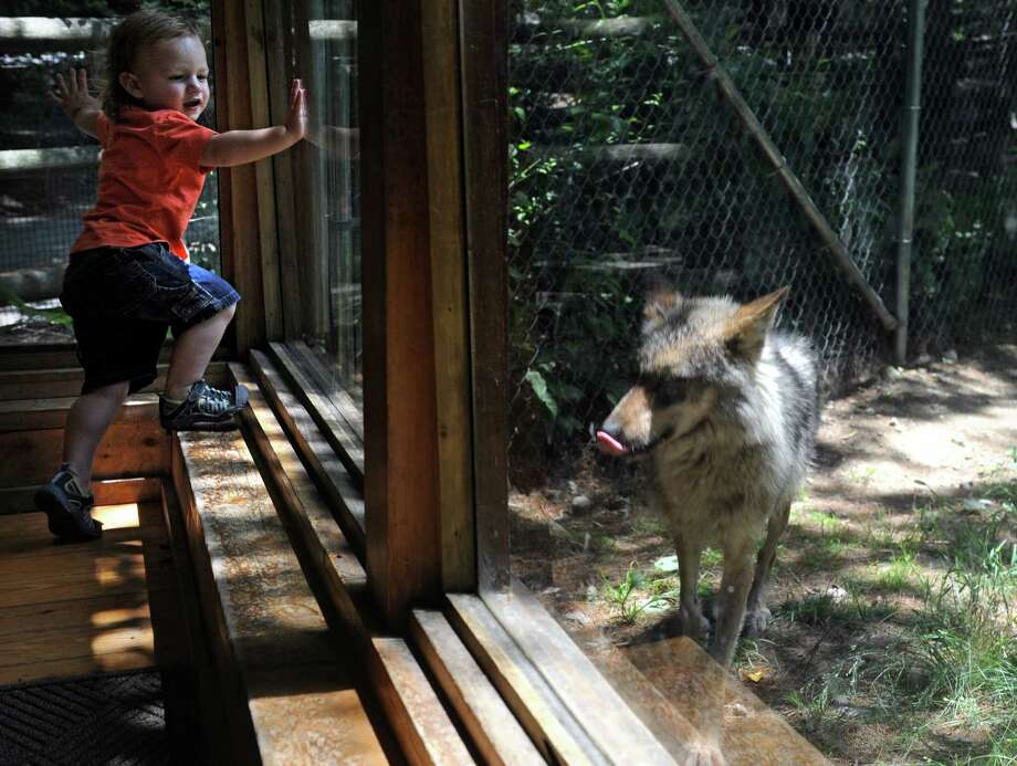 Kyle Castagna, 2, of Newtown, checks out the newest additions to ConnecticutâÄôs Beardsley Zoo, Mexican wolves, Saturday, July 6, 2013. Mexican wolves are a critically endangered species, with fewer than 100 left in the wild and only 300 in captivity. Photo: Autumn Driscoll / Connecticut Post