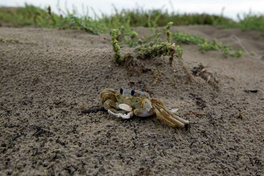 A sand crab scuttles in the sand dunes at Boca Chica Beach near the proposed site for SpaceX spaceport near Brownsville. The beach was one of the final battle sites in the Civil War. Photo: James Nielsen, Staff / © Houston Chronicle 2012