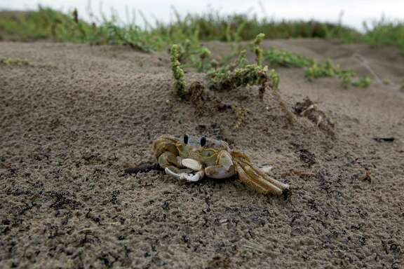 A sand crab scuttles in the sand dunes at Boca Chica Beach near the proposed site for SpaceX spaceport near Brownsville. The beach was one of the final battle sites in the Civil War.