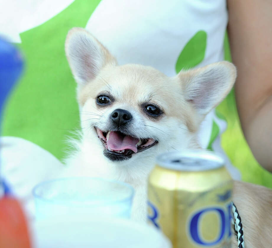 Mocca, a Chihuahua, owned by the Bremner family of Old Greenwich, keeps a close eye on a Korean beer prior to the Town of Greenwich fireworks show at Binney Park in Old Greenwich, Saturday, July 6, 2013. Photo: Bob Luckey / Greenwich Time