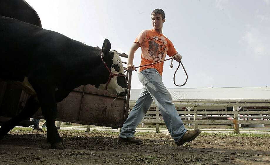 Wyatt Lowe unloads the first steer at the LaPorte County Fair Saturday, July 6, 2013 in LaPorte, Ind. The fair runs July 7-13. (AP Photo/The LaPorte Herald-Argus, Bob Wellinski) Photo: Bob Wellinski, Associated Press