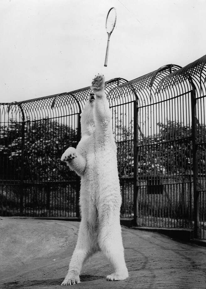 Lastly, we're pretty sure they don't have tennis-playing polar bears anymore. Photo: Imagno, Getty Images / 2010 Getty Images