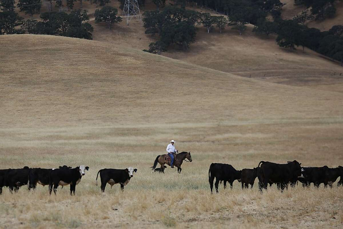 Jack Roddy rides through part of his cattle fields that he will remain in possession of after he sells parts of his land to the East Bay Regional Park District at his ranch in Antioch, Calif. on July 4, 2013.
