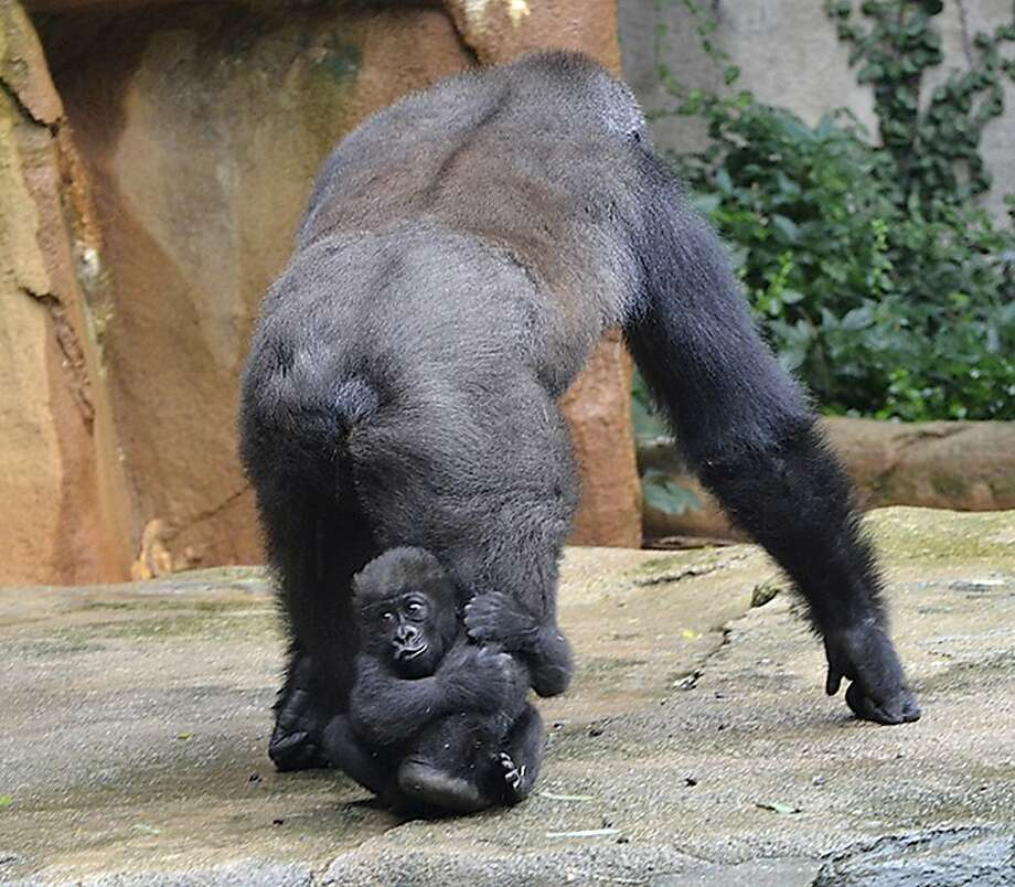 Baby's first open-field tackle: Gladys catches a ride from her surrogate mother, Mara, at the Cincinnati Zoo. Photo: Associated Press