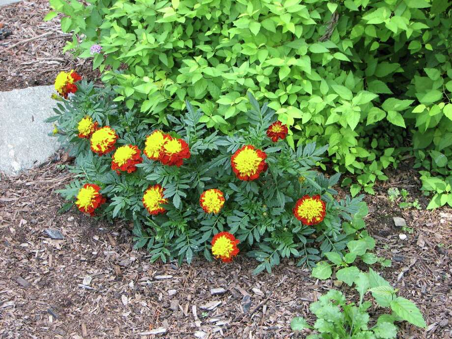 Easy-to-sow marigolds add a splash of color to the garden. Photo: Contributed Photo