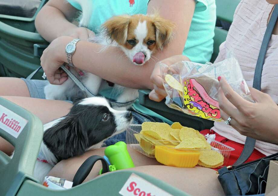"Apollo keeps his eye on some nachos and cheese as Eddie licks his chops while enjoying ""Bark in the Park Night"" at a Tri-City ValleyCats game against Aberdeen at Bruno Stadium on Monday night, July 8, 2013, in Troy, N.Y. (Lori Van Buren / Times Union) Photo: Lori Van Buren / 00023063A"