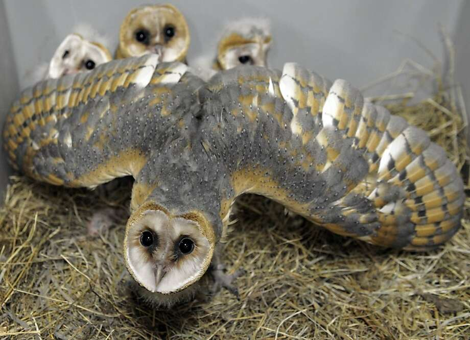 Barn owl chicks hide behind Mom's feathers at the zoo in Amneville, France. Photo: Jean-Christophe Verhaegen, AFP/Getty Images