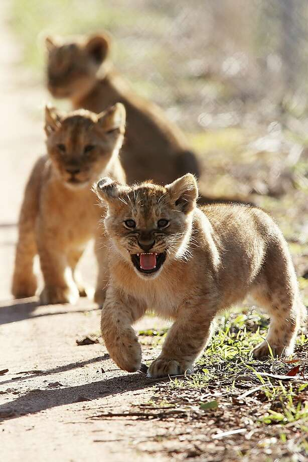 Another lion cub trifecta! Unlike the Himeji Central Park Zoo's all-white triplets, this 