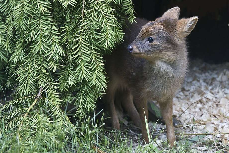 Everybody can use a little doe now and then:She's a Southern pudu, the world's smallest deer species. She weighed 1 pound when she was born last month at Queens Zoo in New York. Photo: Julie Larsen Maher, Associated Press