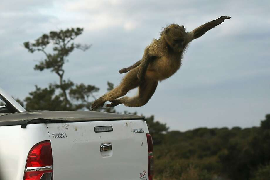 Bring me back the girl and her little dog too! A baboon flies off the back of a visitor's truck in South Africa's Kruger National Park. Photo: Dan Kitwood, Getty Images
