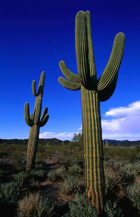 "Arizona's adjacent Organ Pipe Cactus National Monument is a ""sister park,"" with staff cooperating on conservation projects. Photo: Lonely Planet Images, Getty Images/Lonely Planet Image"