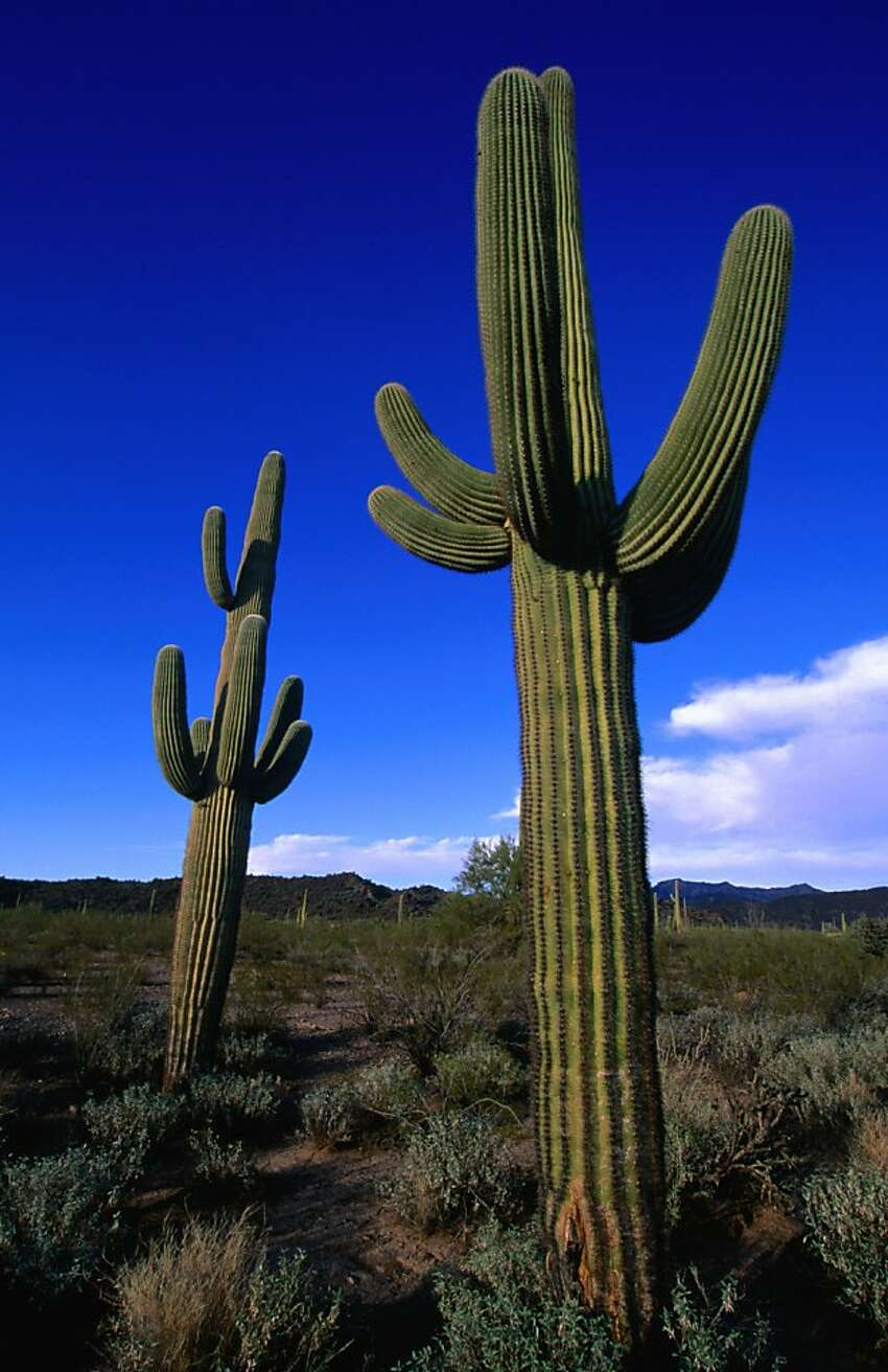 Tucson: A big symbolic gesture Tucson decided to make its point with a 21-foot saguaro cactus, delivered to Amazon CEO Jeff Bezos. The company declined the gift, choosing instead to donate it to a museum.