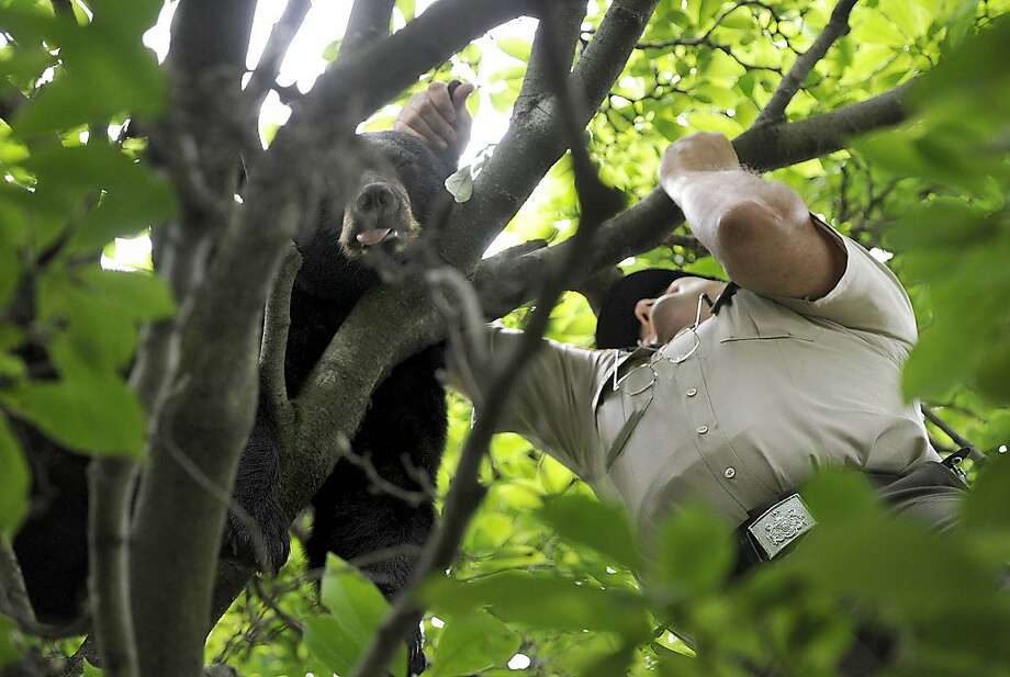 State Wildlife Conservation Officer Mike Girosky pulls a tranquilized bear from a tree behind 4006 Royal Avenue in Erie, Penn. on July 9, 2013. The 125-pound black bear was removed from the scene and released in state game lands. Neither the bear nor any onlookers were injured in the incident, which was reported at about 1 p.m. Tuesday.  (AP Photo/Erie Times-News, Christopher Millette) Photo: Christopher Millette, Associated Press