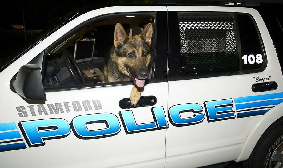 Guess we know whose turn it is to drive:Police K9 Officer Cooper, who partners with Officer Seth O'Brien, prepares to work the midnight shift in Stamford, Conn. Photo: Lindsay Perry, Connecticut Post