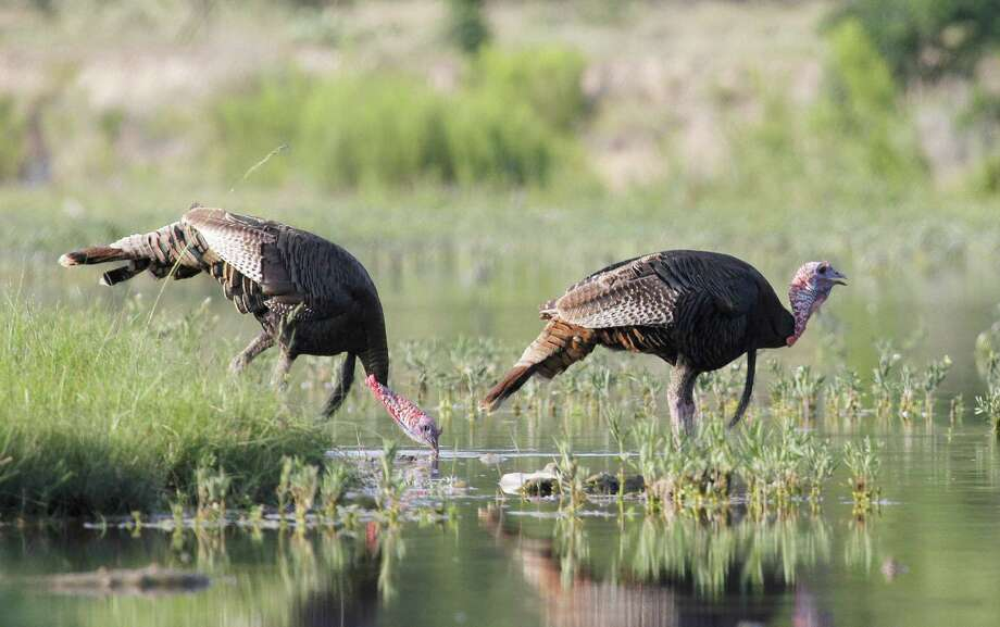 Scattered heavy rains in much of South and Central Texas in late May and June aided prospects for the Texas Rio Grande turkey population, which saw a surge of late breeding/nesting efforts triggered by improved habitat conditions. Photo: Picasa