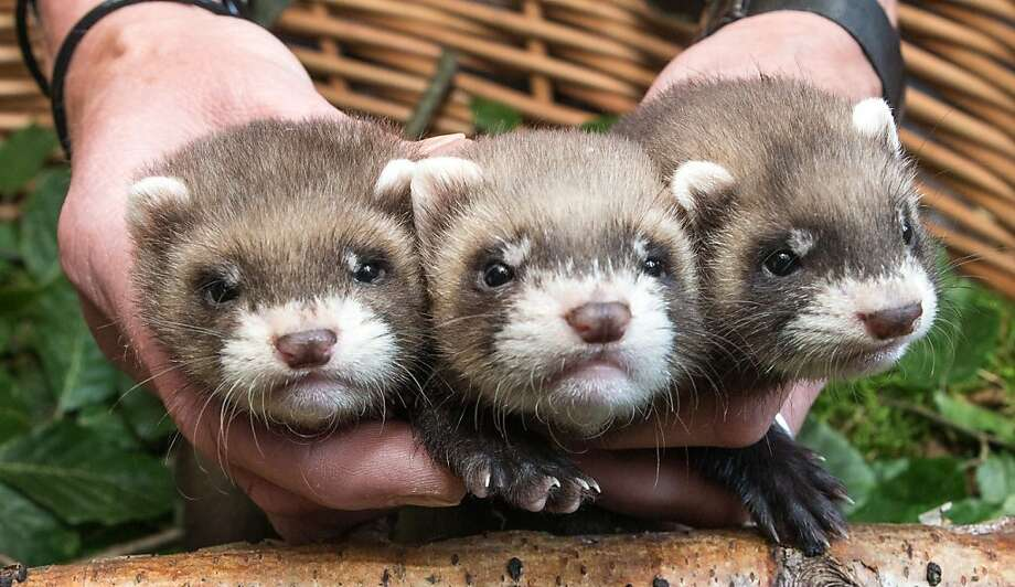 You're bluffing. Read 'em and weep (shows hand): Three of a kind is usually good enough to win most hands of Weasel Hold'em at the Eekholt Zoo in Grossenaspe, Germany. The ferret babies were born May 25. Photo: Markus Scholz, Associated Press