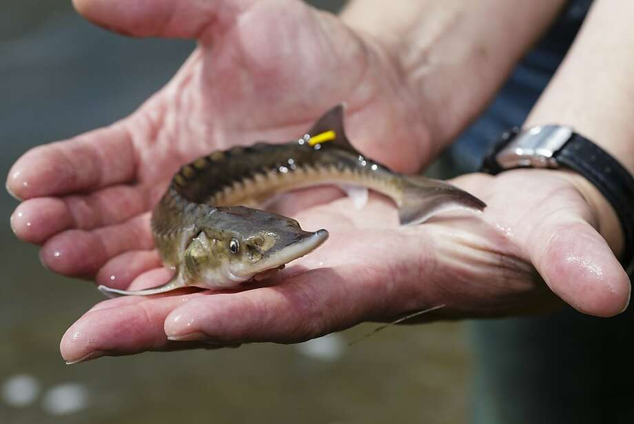 He has the hands of sturgeon: Freshwater ecologist Joern Gessner holds a young European sturgeon before releasing it into the Mulde River near Dessau, Germany. The European sturgeon was once common in the rivers of northern Germany and the North Sea before overfishing nearly rendered it extinct. Photo: Marco Prosch, Getty Images