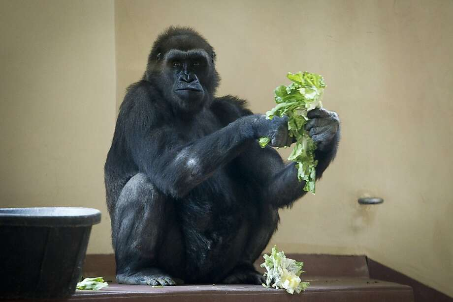 Pass the Newman's Own? Kira the western lowland gorilla has a salad during her first appearance at the Philadelphia  Zoo's PECO Primate Conservation Center. Photo: Alejandro A. Alvarez, Associated Press