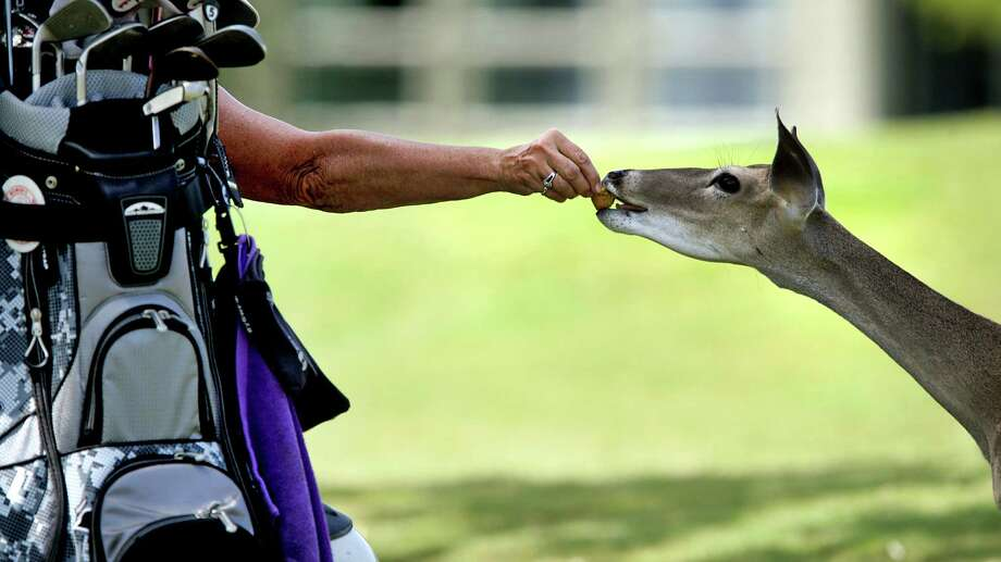Judy Enderlin, a volunteer at the AJGA Genesis Shootout presented by the Valero Texas Open on Thursday, July 11, 2013, at Fair Oaks Ranch Golf and Country Club, shares her last cookie with a white tail deer that sniffed out the treat. Photo: Bob Owen, San Antonio Express-News / © 2012 San Antonio Express-News