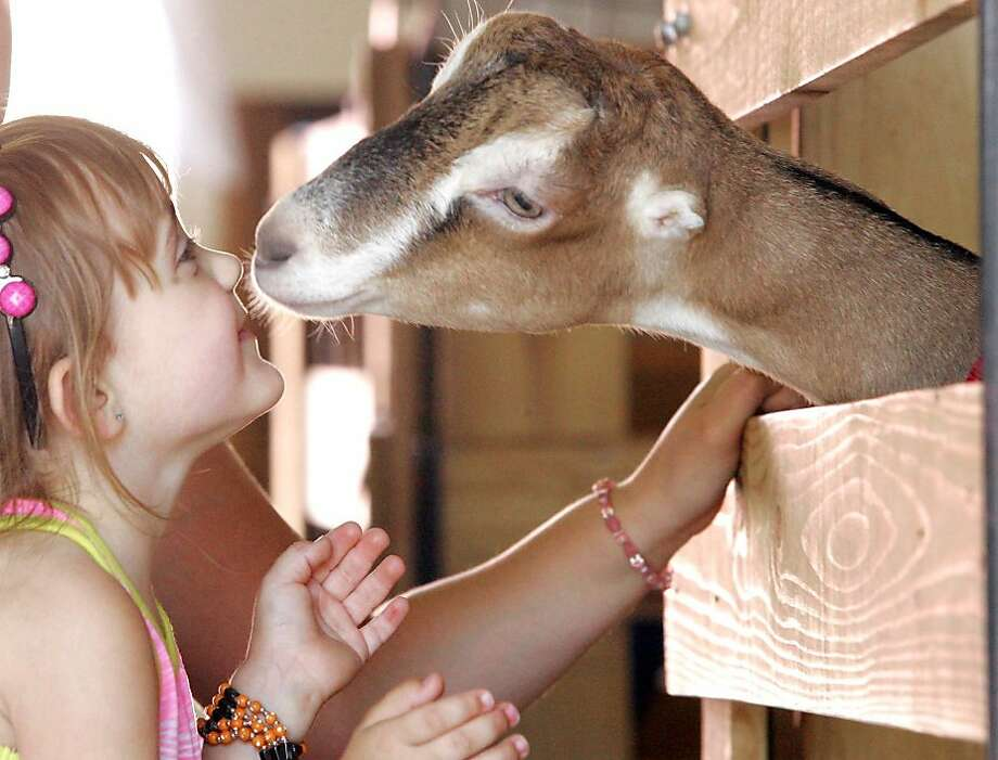 Mushy kid stuff:Three-year-old Gracelyn Goble eskimo-kisses a new friend at the LaPorte County Fair in   LaPorte, Ind. Photo: Bob Wellinski, Associated Press