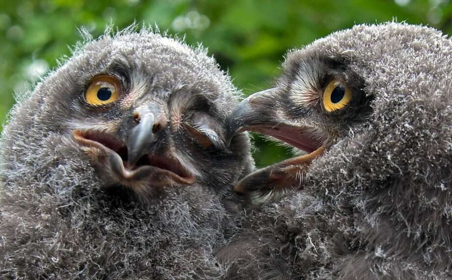 I'm not winking at you ...Your beak is stuck in my eye. (Snowy owlets, Hannover Zoo in Hannover, Germany.) Photo: Jochen Luebke, Associated Press