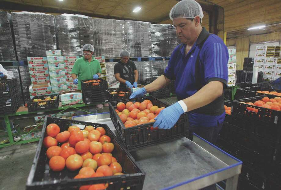 Workers sort through tomatoes at Bebo Distributing in Pharr. Thousands of truckloads of produce pass through Pharr from Mexico. Photo: Delcia Lopez / Delcia Lopez photography