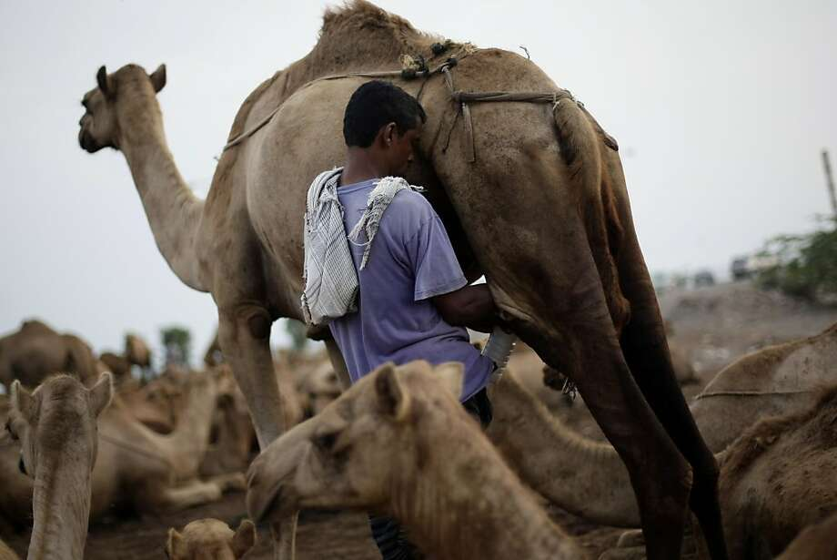If you want milk in your coffee in Taiz, Yemen, you have to milk your own camel. Photo: Hani Mohammed, Associated Press