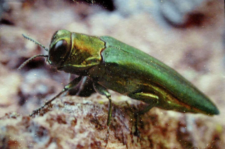Copy of an Emerald Ash Borer picture on display at the Invasive Plant Conference on Wednesday, Feb.7, 2007, at the Holiday Inn in Colonie, N.Y. (WITH NEARING STORY) / ALBANY TIMES UNION