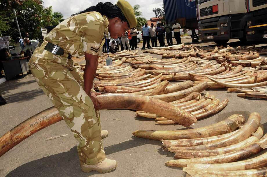 A Kenya Wildlife Service officer holds an elephant ivory tusk, as they are displayed outside the Port of Mombasa's police station,  in Mombasa, Kenya, Tuesday, July 9, 2013. Around  four hundred and forty two pieces  were discovered during an ivory tusk haul,  weighing more than 3.28 tonnes,  it was reported by the Kenya Revenue Authority. The container in which they were found,  was sent from Uganda, destined for Malaysia. This is the second haul of elephant tusks in less than a week to be intercepted within the port of Mombasa. Photo: AP