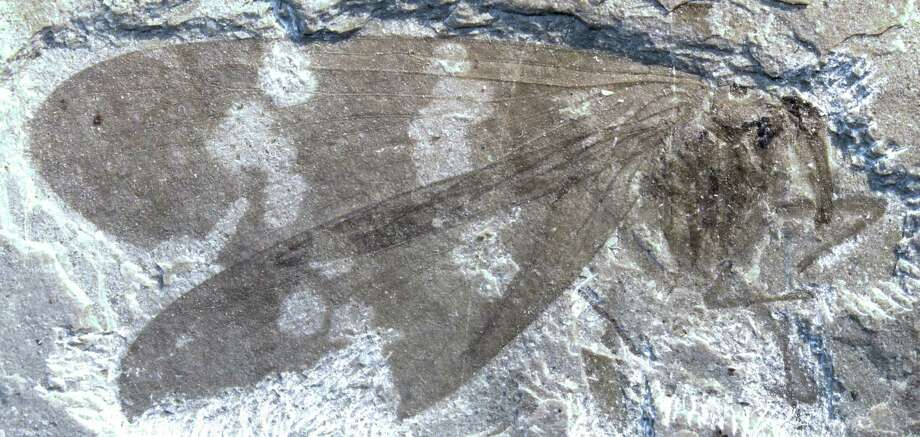 The fossil of a newly discovered family of extinct scorpionflies from McAbee, B.C., is shown in an undated photo provided by Simon Fraser University. Ancient fossils of an extinct family of insects, scorpionflies, have been found in British Columbia and northern Washington state, and a biologist says they hold valuable lessons about climate change and evolution. Photo: AP