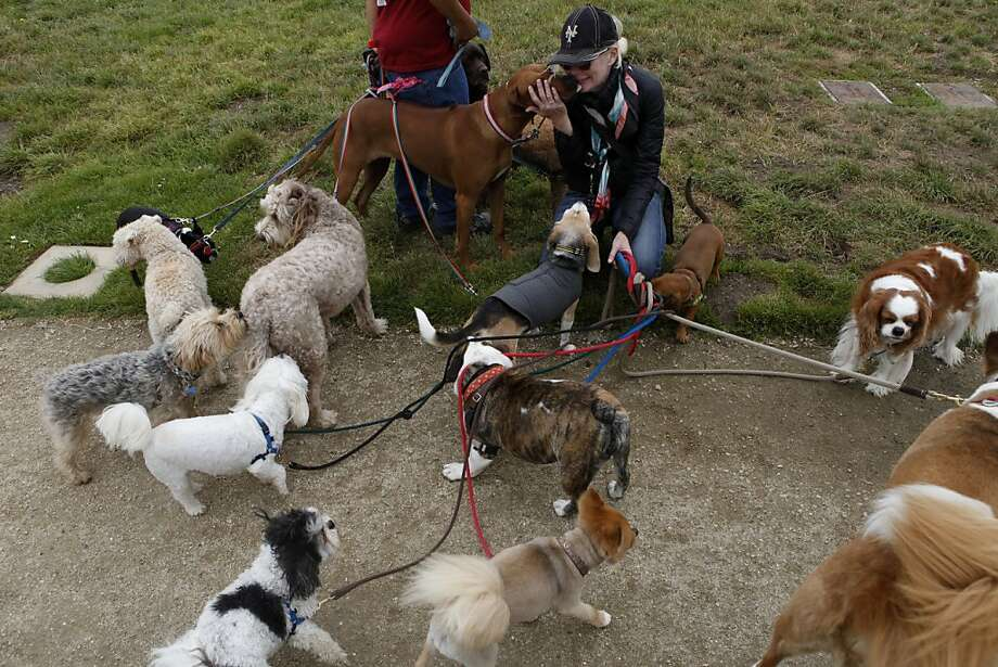 CJ Miller, a professional dog walker, greets Gunga at Crissy Field. A new S.F. law requires dog walkers to carry permits, follow safety regulations and walk eight or fewer dogs at a time. Photo: Katie Meek, The Chronicle