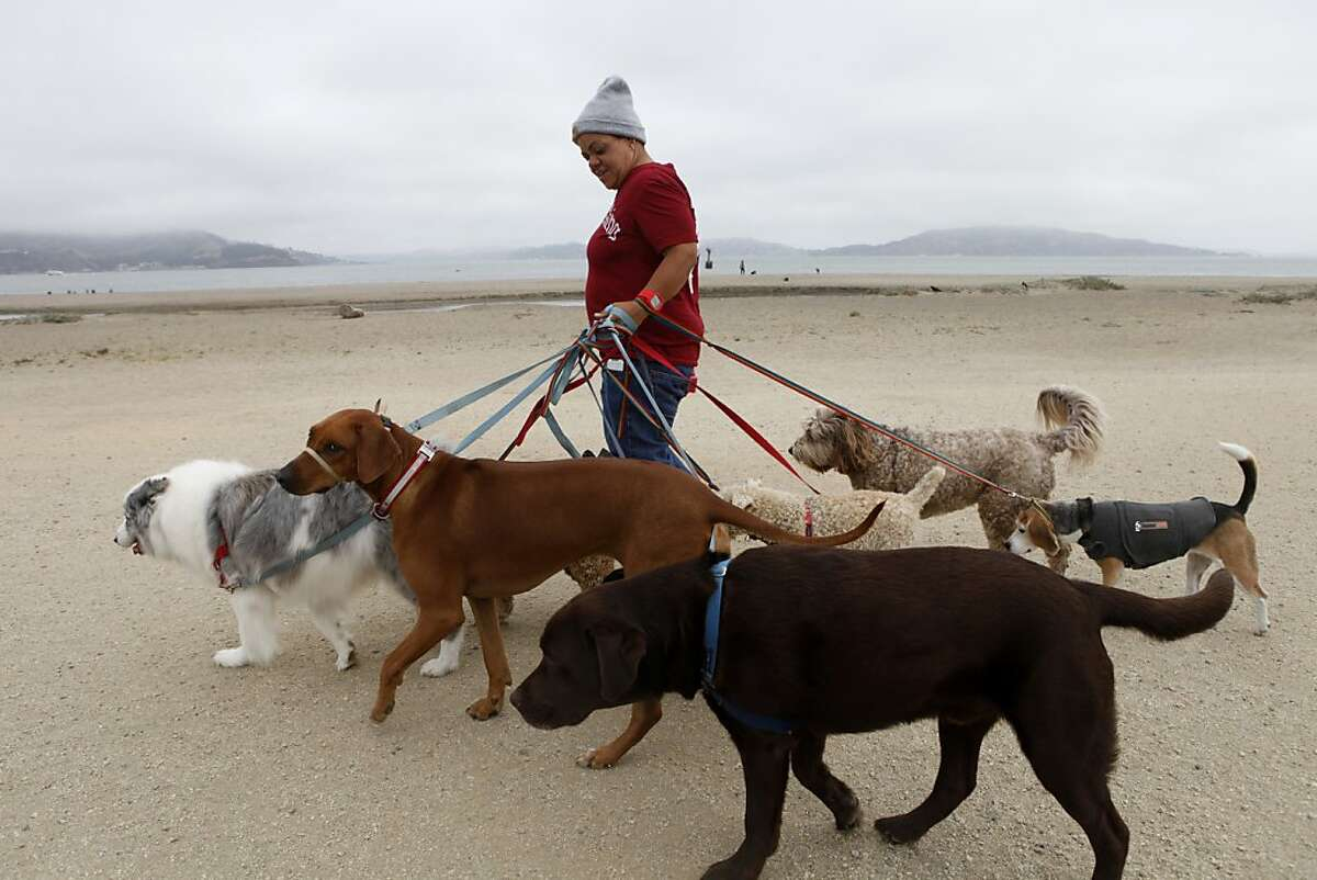 Angela Gardner, officer with the Professional Dog Walkers Association, walks eight dogs on East Beach at Crissy Field on Friday, July 12, 2013 in San Francisco, Calif. New regulations limit the number of dogs that can be walked at a time to eight, require professional dog walkers to get permits and impose many new safety regulations.