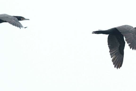 A pair of neotropic cormorants fly over the Smith Oaks Sanctuary on Wednesday near High Island. The rookery has been hit hard by the drought.