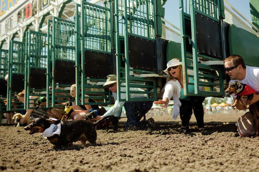 Ashley Justice, second from right, lets out a shriek of surprise as her miniature dachshund, Harley, left, takes off early from the gate during the second qualifying heat at the 17th Annual Kent & Alan Wiener Dog Races Sunday, July 14, 2013, at Emerald Downs in Auburn. Three heats of short-legged competition had crowds cheering and participating dog owners rooting for their own little canine athlete.