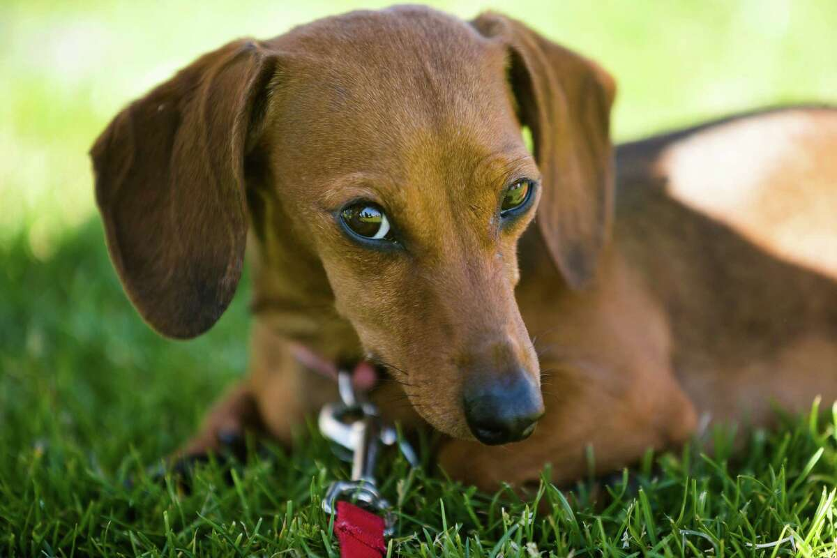 Shelby, a miniature dachshund, relaxes in a shady patch after placing in the top six of the first heat of dogs during the 17th Annual Kent & Alan Wiener Dog Races Sunday, July 14, 2013, at Emerald Downs in Auburn. Three heats of short-legged competition had crowds cheering and participating dog owners rooting for their own little canine athlete.