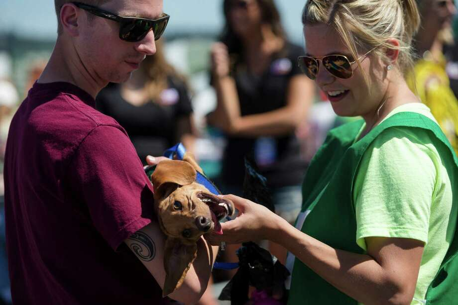 Owners prepare their miniature dachshunds to take to the track to go head to head with other dogs at the 17th Annual Kent & Alan Wiener Dog Races Sunday, July 14, 2013, at Emerald Downs in Auburn. Three heats of short-legged competition had crowds cheering and participating dog owners rooting for their own little canine athlete. Photo: JORDAN STEAD, SEATTLEPI.COM / SEATTLEPI.COM